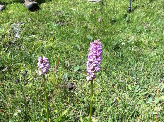 L'insospettabile orchidea di montagna. Se la guardi da vicino i fiori hanno la bellissima forma nota. Ma sono stati ridotti e compattati per affrontare venti e camosci...