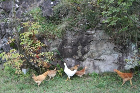Incisioni rupestri e rurali: gallinelle di montagna razzolano tra le incisioni